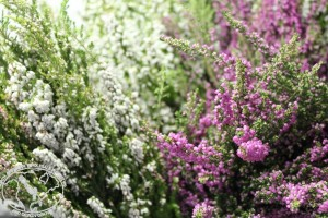 023 - PINK AND WHITE HEATHER